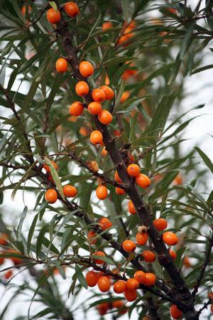 buckthorn: sea buckthorn berries  Hippophae rhamnoides