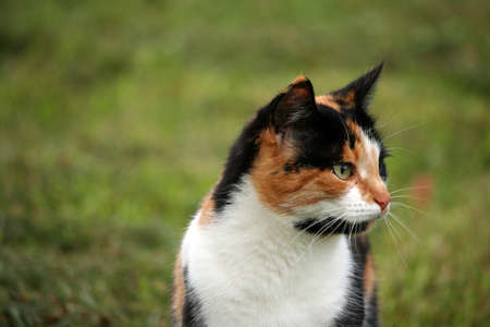 calico: Calico cat in grass in summer