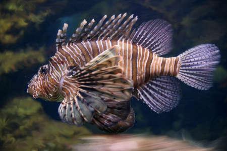 zebra lionfish: scorpionfish  lionfish or zebrafish  underwater close-up