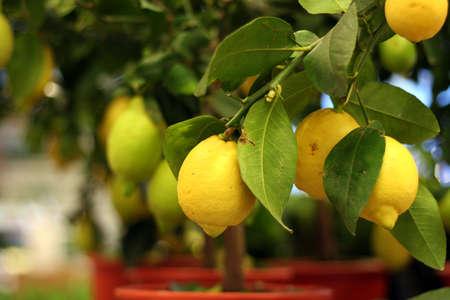 Limoni biologici su albero in vaso per la vendita Archivio Fotografico