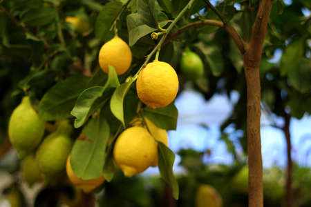 Organic lemons on tree in the pot for sale photo