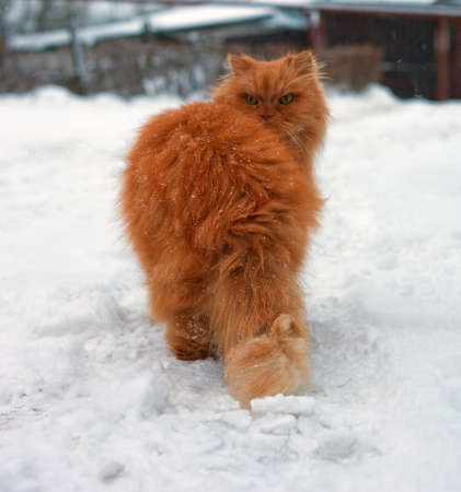 red long hair cat walking in snow photo