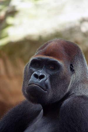 silverback: portrait shot of a big male silverback gorilla