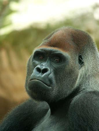 anthropomorphous: portrait shot of a big male silverback gorilla
