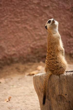 suricata suricatta: curious meercat (Suricata suricatta), meerkat