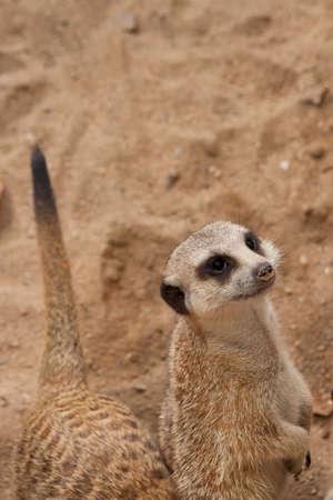 suricatta: curious meercat (Suricata suricatta), meerkat