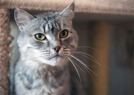 grey tabby: grey tabby cat resting down Stock Photo