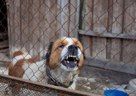 bad condition: aggressive furious dog in cage, moscow watchdog Stock Photo