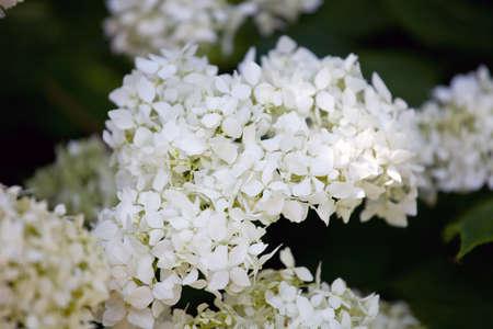 airiness: Smooth hydrangea annabelle, wild hydrangea, or sevenbark (Hydrangea arborescens)