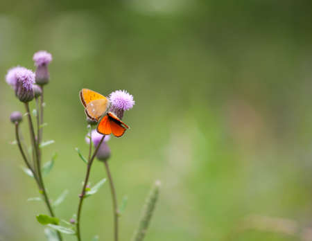 Scarce copper butterfly male and female (Lycaena virgaureae) on a flower
