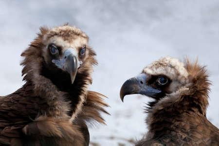 curve claw: Portrait of two Cinereous Vultures, (Aegyptius monachus) Stock Photo