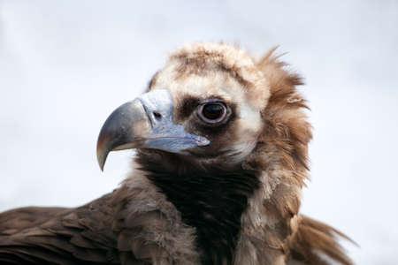 birdwatcher: Portrait of a Cinereous Vulture, (Aegyptius monachus)