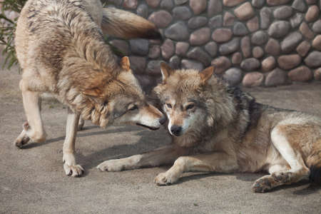 lupus: Grey Wolf (Canis lupus) playing
