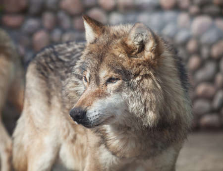 lupus: Grey Wolf (Canis lupus) looking to the left
