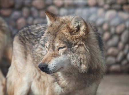 canis: Grey Wolf (Canis lupus) closed eyes on the sun Stock Photo