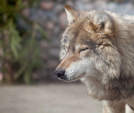 canis lupus: Grey Wolf (Canis lupus) closed eyes on the sun Stock Photo