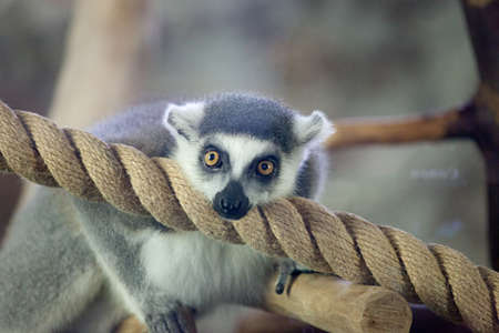 ring tailed: Close-up portrait of lemur catta (ring tailed lemur)