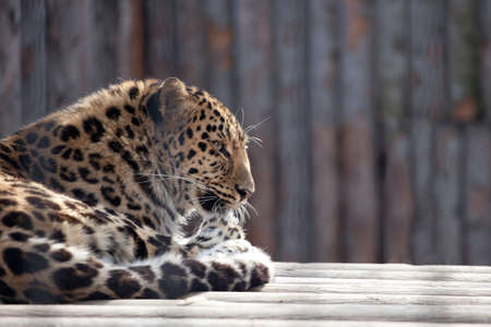 panthera pardus: Amur leopard (Panthera pardus orientalis) licking paw lying