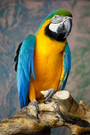 ararauna: One blue-and-yellow macaw (ara ararauna) sitting on a branch