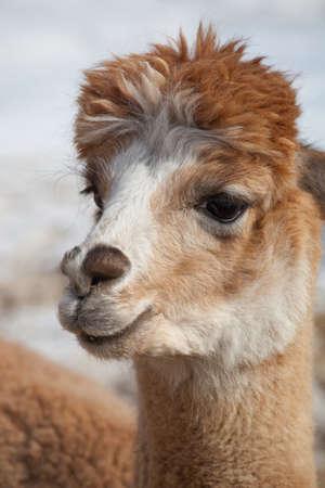 head close up: lama alpaca head close up
