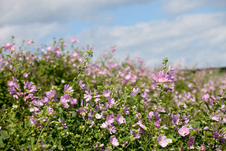 musk: blooming musk mallow(Malva alcea, cut-leaved mallow, vervain mallow or hollyhock mallow) field in summer Stock Photo