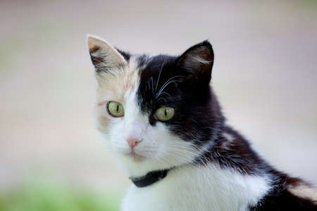 calico cat: Beautiful calico cat looking to the camera