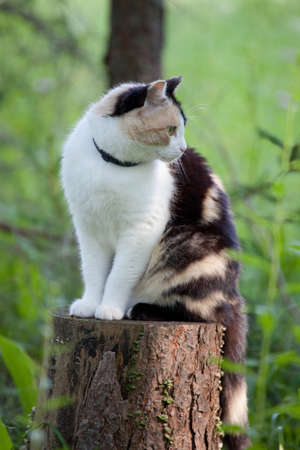 calico cat: Beautiful calico cat looking to the right