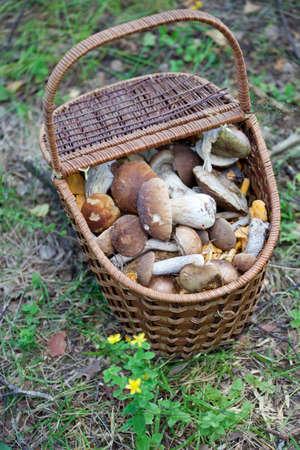 bolete: Birch Bolete Mushrooms (Leccinum scabrum) in basket ( rough-stemmed bolete, scaber stalk) Stock Photo