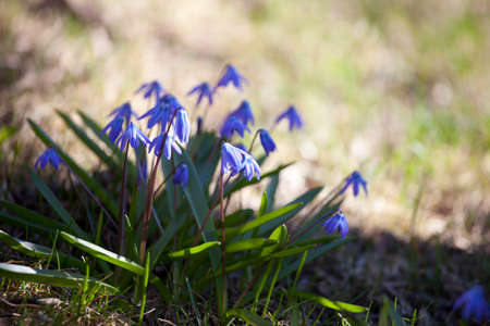 Wood squill (Scilla siberica) flowers in spring