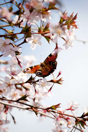 peacock butterfly: peacock butterfly on cherry blossom trees soft focus