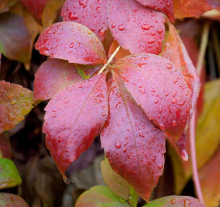 Autumn parthenocissus leaves with raindrops