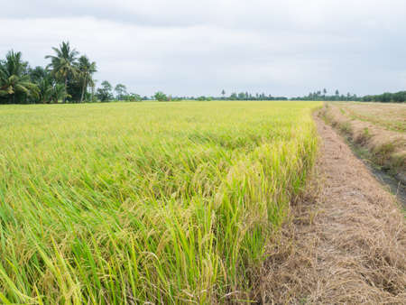 agriculturalist: paddy rice wait to  harvest Stock Photo