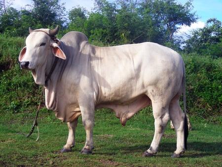 buey: Buey bovino ceb� Foto de archivo