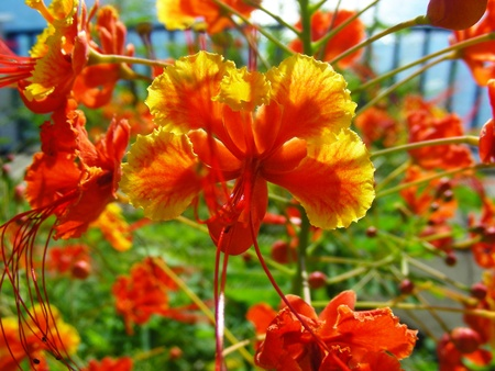 Exotic Red ans Yellow Flower-Flamboyant Stock Photo - 11665827