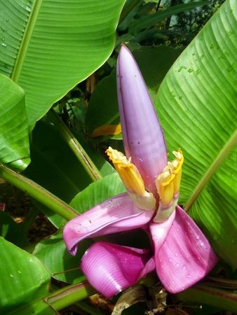 Banana Tree Purple Flower Stock Photo - 13376984