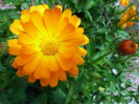 herbolaria: Caléndula-Gerbera-Sunny Naranja de flores de primavera Foto de archivo