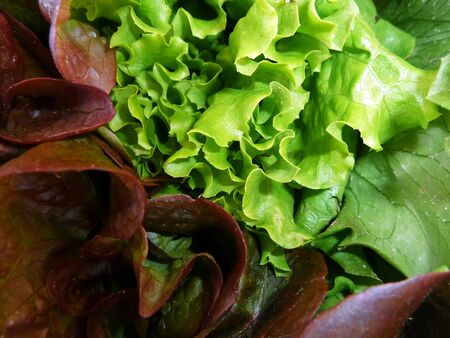 Fresh Green and Red Lettuce for Salad  photo