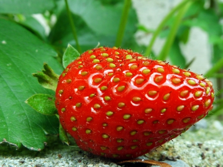 strawberry plant: Red Strawberry on Plant Closeup