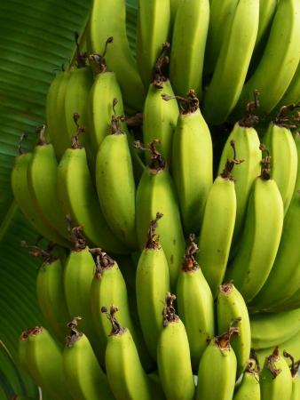 Bunch of Bananas on Tree Stock Photo - 13961271