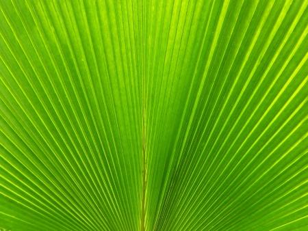 nervation: Palm tree Leaf Fan Texture