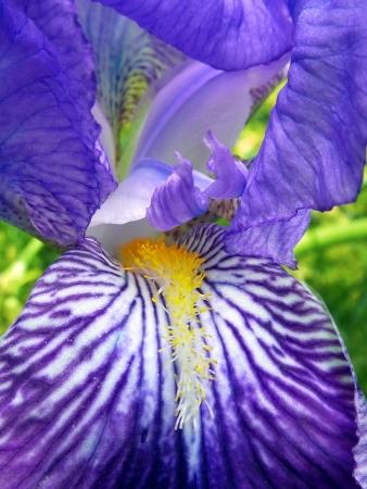 bearded iris: Purple Bearded Iris Monsignor Macro