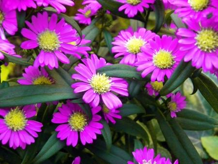 flores fucsia: Fuchsia Daisy Flowers Bloom