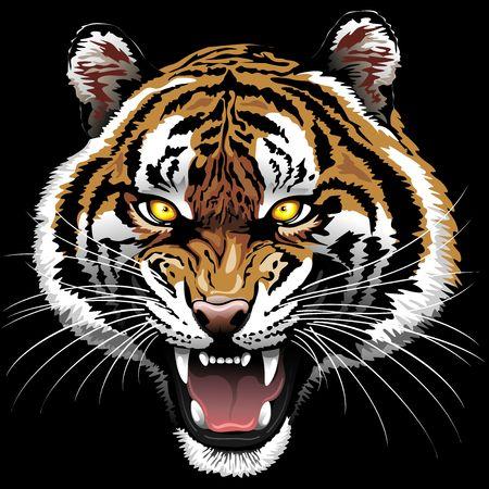 roaring tiger: The Tiger Roar on Black Background