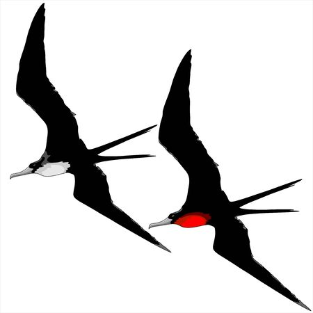 seabirds: Frigate Birds Male and Female Illustration