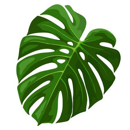 Monstera hoja de la planta tropical aislado en blanco
