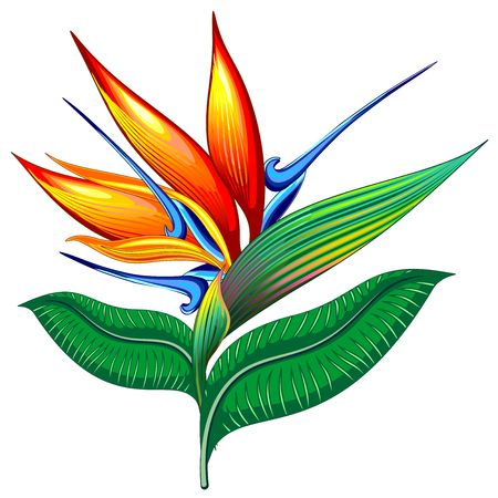 Bird of Paradise Flower, Exotic Botanical Vector illustration, Strelizia Stock Illustratie