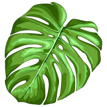 Monstera Leaf Tropical Plant Vector Illustration