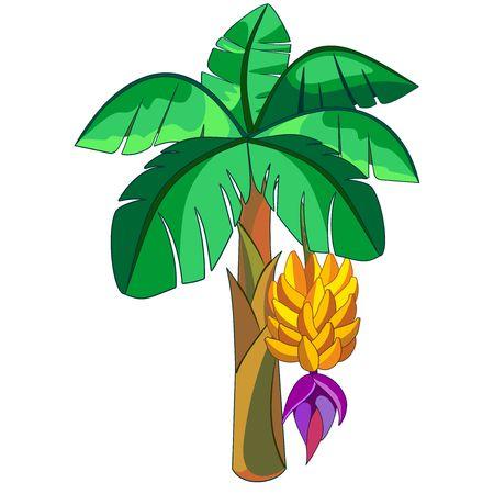 Banana Exotic Plant Vector illustration isolated on white Illustration