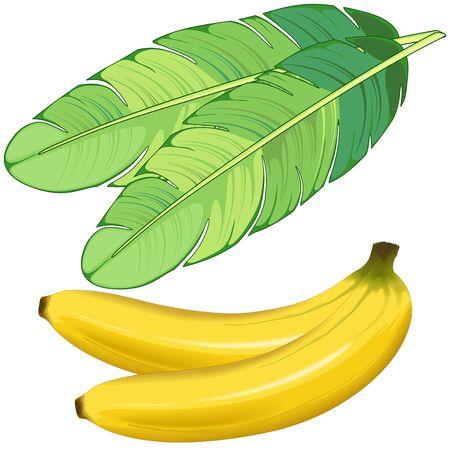 Bananas Fruits and Banana Leaf Vector illustration isolate on White