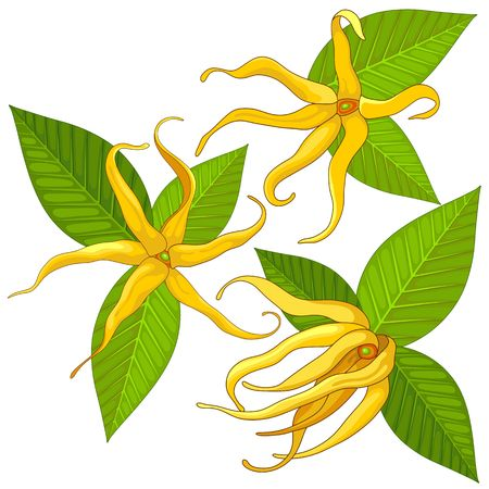 Ylang Ylang Exotic Scented Flowers and Leaves Vector Illustration isolated on White Illustration